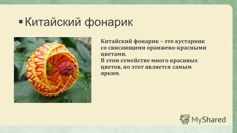 Китайский фонарик Китайский фонарик – это кустарник со свисающими оранжево-красными цветами. В этом семействе много красивых цветов, но этот является самым ярким.