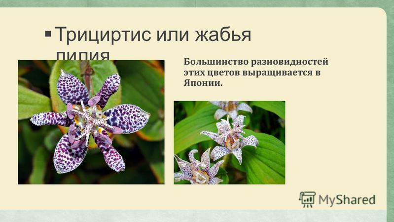 Трициртис или жабья лилия Большинство разновидностей этих цветов выращивается в Японии.
