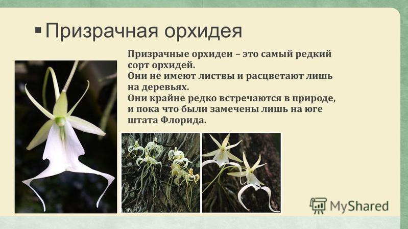 Призрачная орхидея Призрачные орхидеи – это самый редкий сорт орхидей. Они не имеют листвы и расцветают лишь на деревьях. Они крайне редко встречаются в природе, и пока что были замечены лишь на юге штата Флорида.