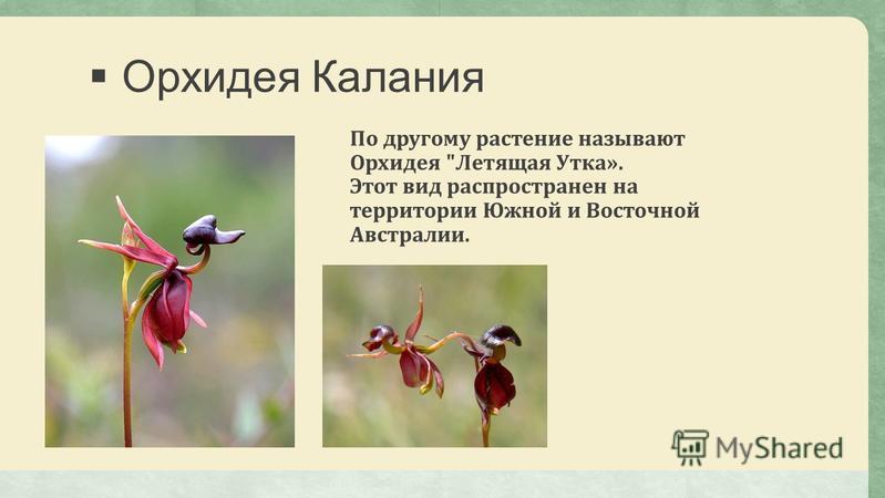 Орхидея Калания По другому растение называют Орхидея Летящая Утка». Этот вид распространен на территории Южной и Восточной Австралии.