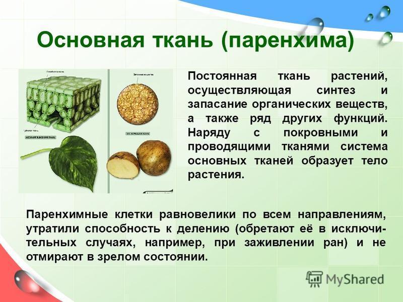 Основная ткань (паренхима) Постоянная ткань растений, осуществляющая синтез и запасание органических веществ, а также ряд других функций. Наряду с покровными и проводящими тканями система основных тканей образует тело растения. Паренхимные клетки рав