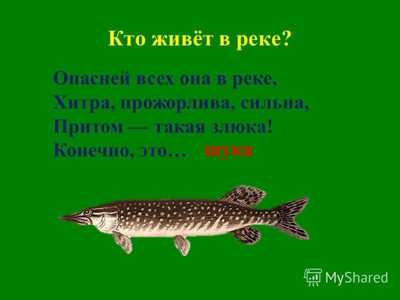 Кто живёт в реке? Опасней всех она в реке, Хитра, прожорлива, сильна, Притом такая злюка! Конечно, это… щука