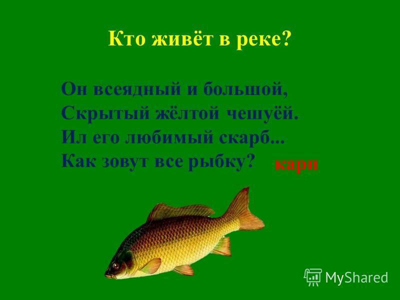 Кто живёт в реке? Он всеядный и большой, Скрытый жёлтой чешуёй. Ил его любимый скарб... Как зовут все рыбку? карп