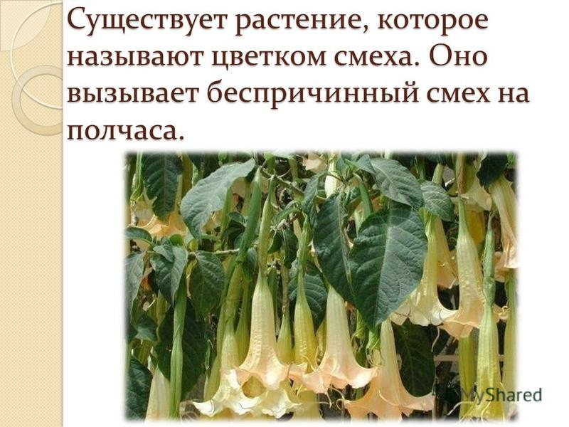 Существует растение, которое называют цветком смеха. Оно вызывает беспричинный смех на полчаса.