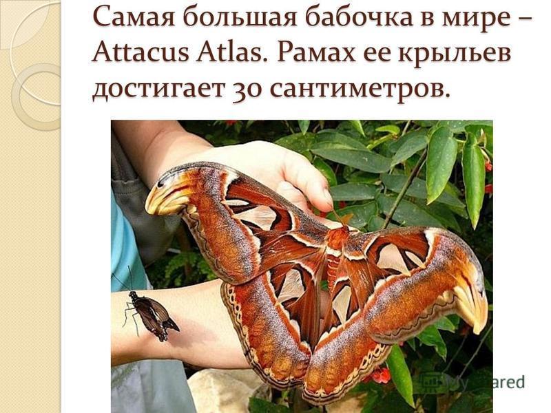 Самая большая бабочка в мире – Attacus Atlas. Рамах ее крыльев достигает 30 сантиметров.