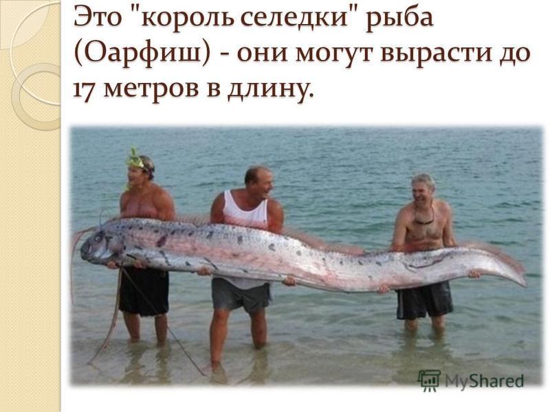 Это король селедки рыба (Оарфиш) - они могут вырасти до 17 метров в длину.
