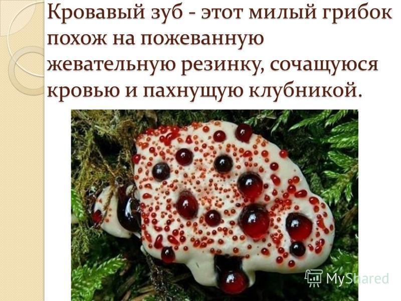 Кровавый зуб - этот милый грибок похож на пожеванную жевательную резинку, сочащуюся кровью и пахнущую клубникой.