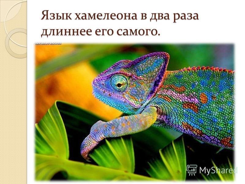 Язык хамелеона в два раза длиннее его самого.