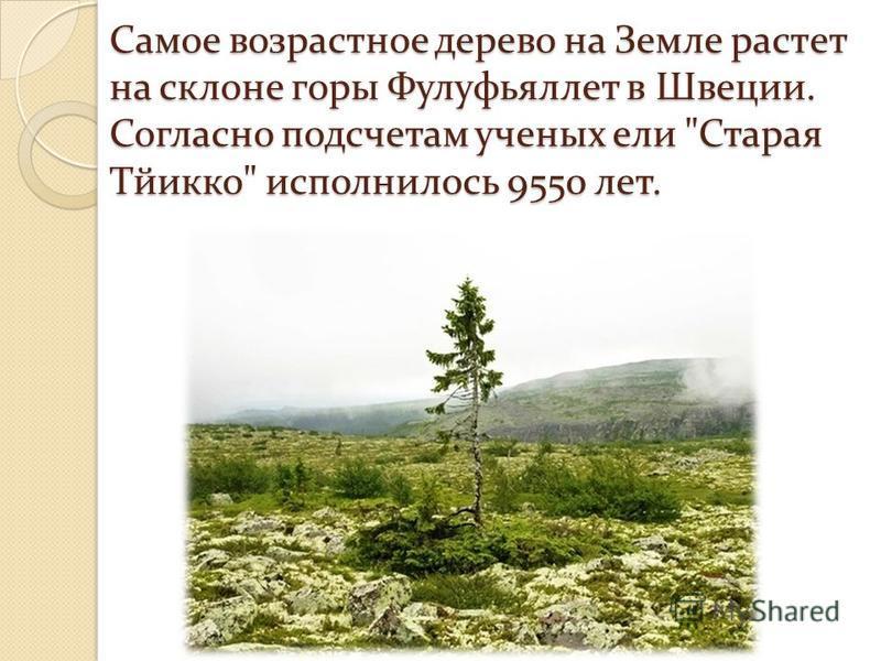 Самое возрастное дерево на Земле растет на склоне горы Фулуфьяллет в Швеции. Согласно подсчетам ученых ели Старая Тйикко исполнилось 9550 лет.