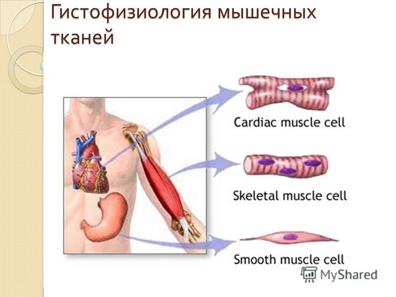 Гистофизиология мышечных тканей