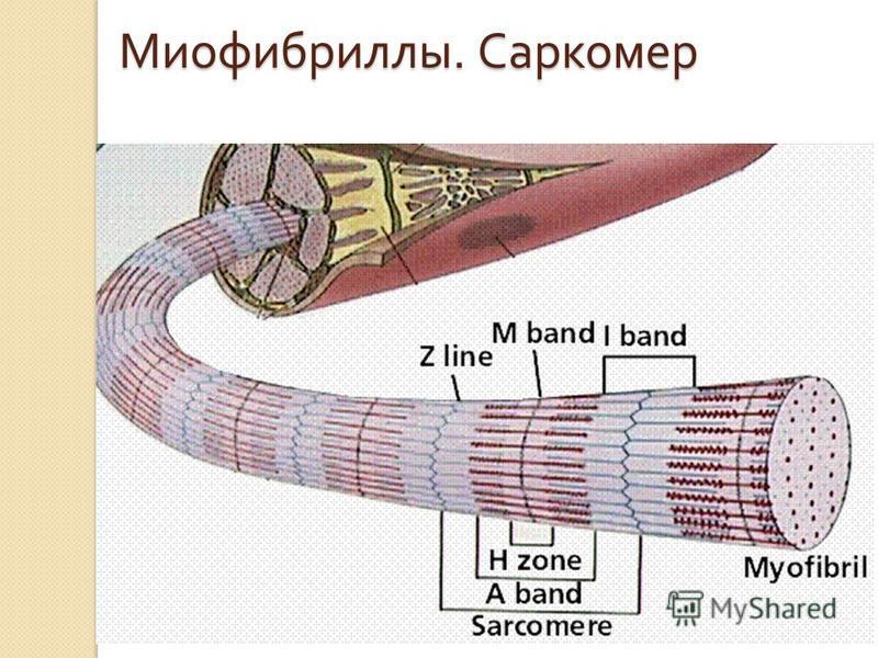 Миофибриллы. Саркомер