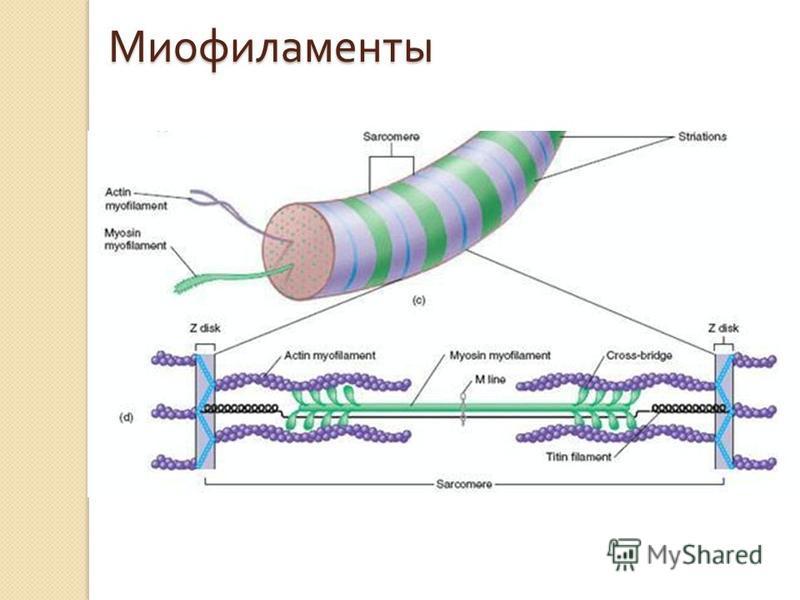 Миофиламенты