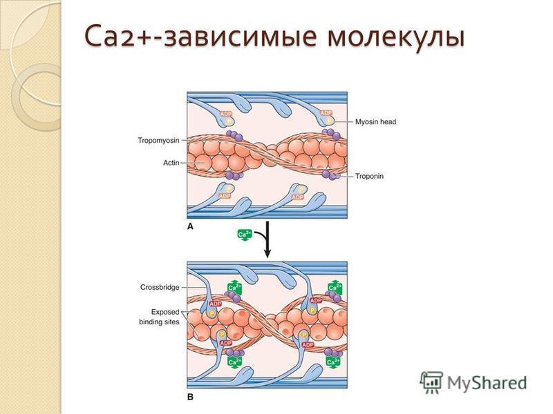 Са 2+- зависимые молекулы