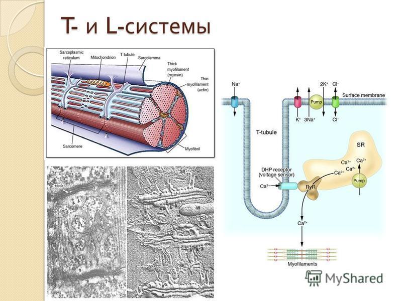 T- и L- системы