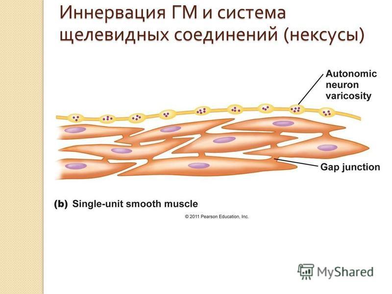 Иннервация ГМ и система щелевидных соединений ( нексусы )