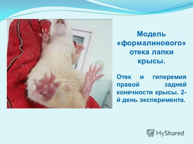 Модель «формалинового» отека лапки крысы. Отек и гиперемия правой задней конечности крысы. 2- й день эксперимента..