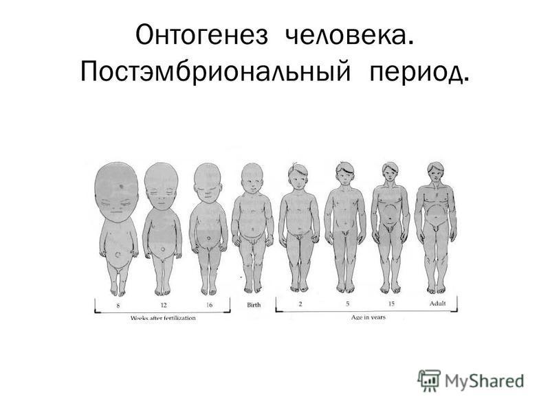 Онтогенез человека. Постэмбриональный период.