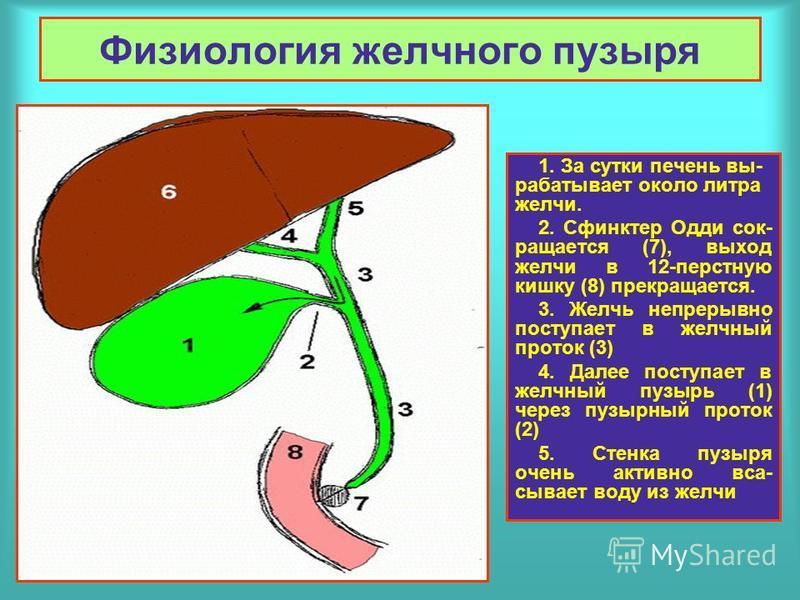 Физиология желчного пузыря 1. За сутки печень вырабатывает около литра желчи. 2. Сфинктер Одди сокращается (7), выход желчи в 12-перстную кишку (8) прекращается. 3. Желчь непрерывно поступает в желчный проток (3) 4. Далее поступает в желчный пузырь (