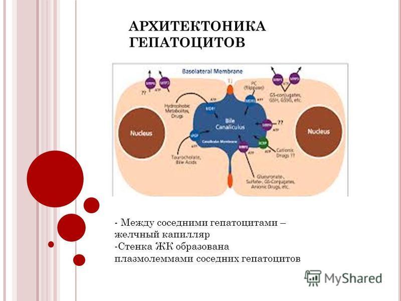 АРХИТЕКТОНИКА ГЕПАТОЦИТОВ - Между соседними гепатоцитами – желчный капилляр -Стенка ЖК образована плазмолеммами соседних гепатоцитов