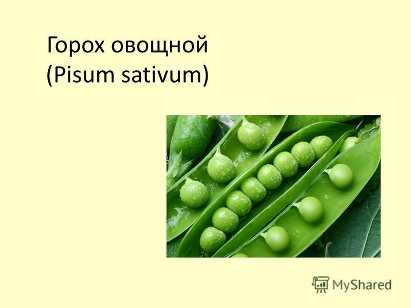 Горох овощной (Pisum sativum)
