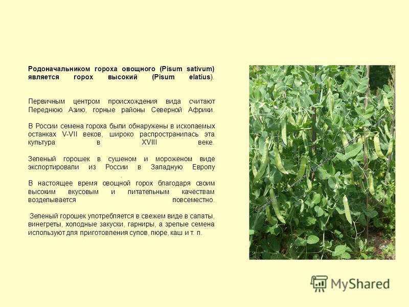 Родоначальником гороха овощного (Pisum sativum) является горох высокий (Pisum elatius). Первичным центром происхождения вида считают Переднюю Азию, горные районы Северной Африки. В России семена гороха были обнаружены в ископаемых останках V-VII веко