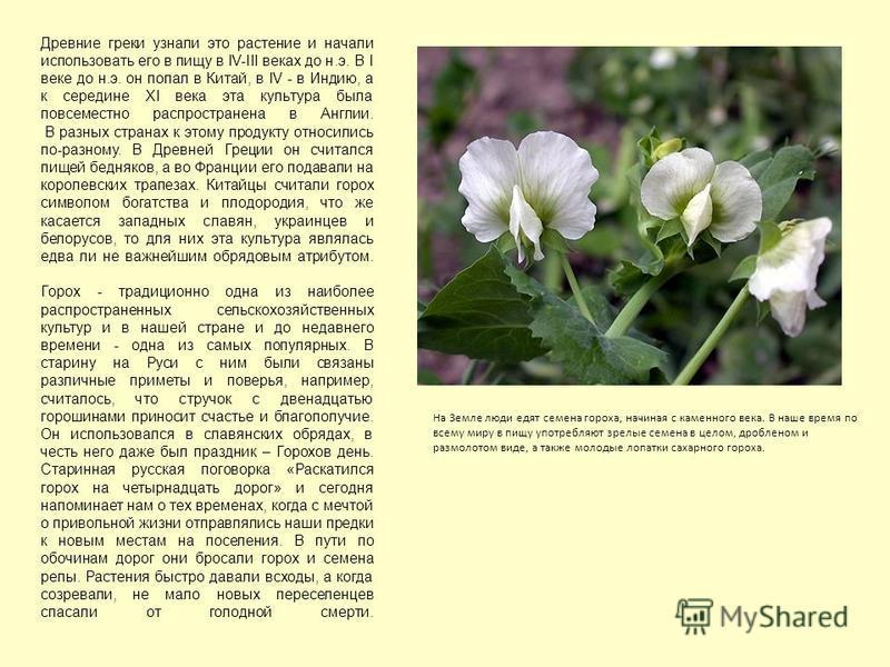 Древние греки узнали это растение и начали использовать его в пищу в IV-III веках до н.э. В I веке до н.э. он попал в Китай, в IV - в Индию, а к середине ХI века эта культура была повсеместно распространена в Англии. В разных странах к этому продукту