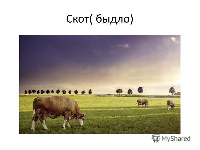 Скот( быдло)