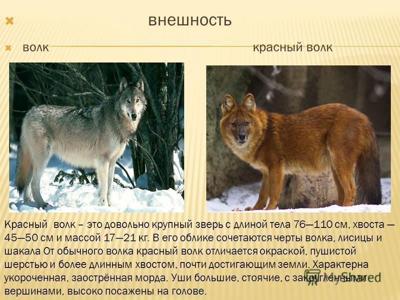 внешность волк красный волк Красный волк – это довольно крупный зверь с длиной тела 76110 см, хвоста 4550 см и массой 1721 кг. В его облике сочетаются черты волка, лисицы и шакала От обычного волка красный волк отличается окраской, пушистой шерстью и