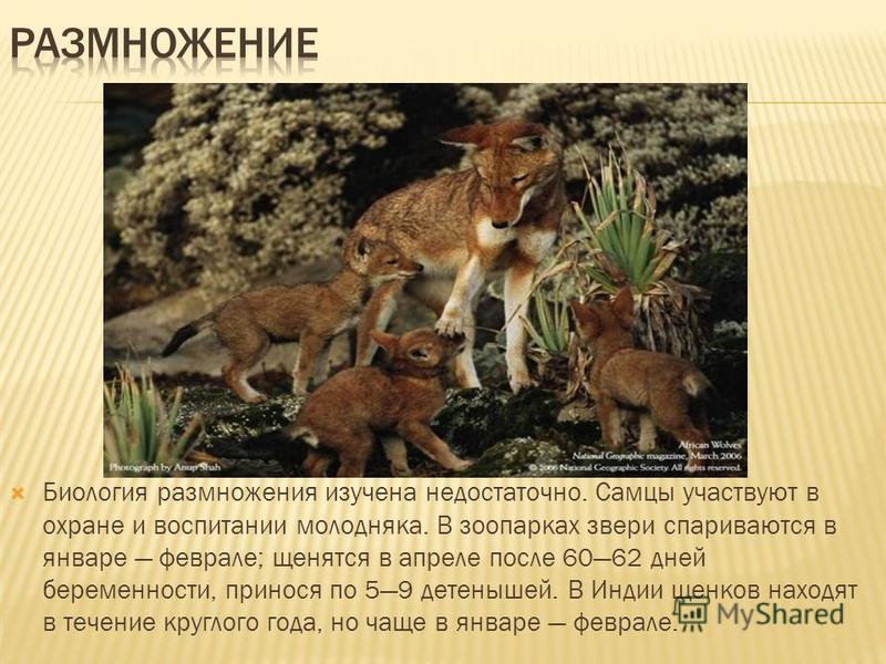 Биология размножения изучена недостаточно. Самцы участвуют в охране и воспитании молодняка. В зоопарках звери спариваются в январе феврале; щенятся в апреле после 6062 дней беременности, принося по 59 детенышей. В Индии щенков находят в течение кругл