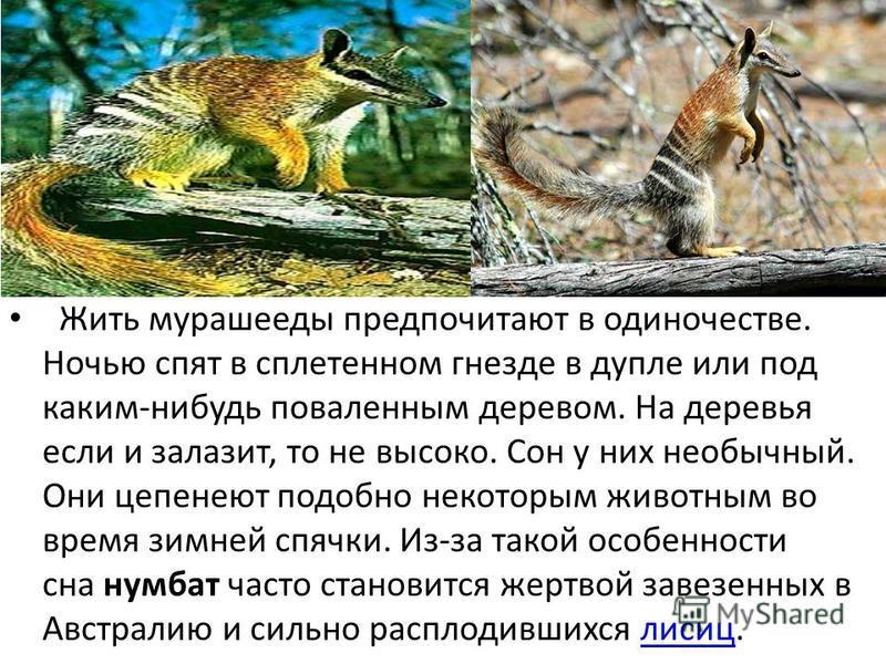 Жить мурашееды предпочитают в одиночестве. Ночью спят в сплетенном гнезде в дупле или под каким-нибудь поваленным деревом. На деревья если и залазит, то не высоко. Сон у них необычный. Они цепенеют подобно некоторым животным во время зимней спячки. И