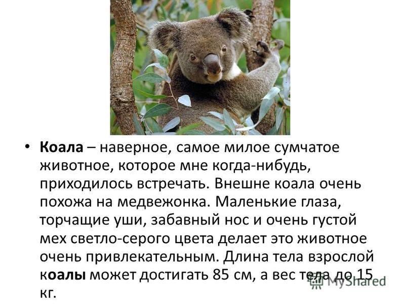 Коала – наверное, самое милое сумчатое животное, которое мне когда-нибудь, приходилось встречать. Внешне коала очень похожа на медвежонка. Маленькие глаза, торчащие уши, забавный нос и очень густой мех светло-серого цвета делает это животное очень пр