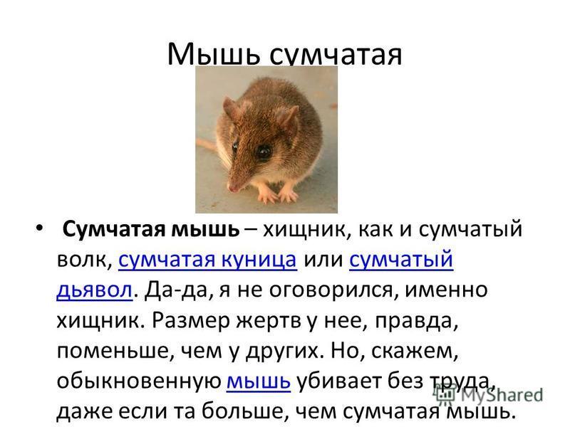 Мышь сумчатая Сумчатая мышь – хищник, как и сумчатый волк, сумчатая куница или сумчатый дьявол. Да-да, я не оговорился, именно хищник. Размер жертв у нее, правда, поменьше, чем у других. Но, скажем, обыкновенную мышь убивает без труда, даже если та б