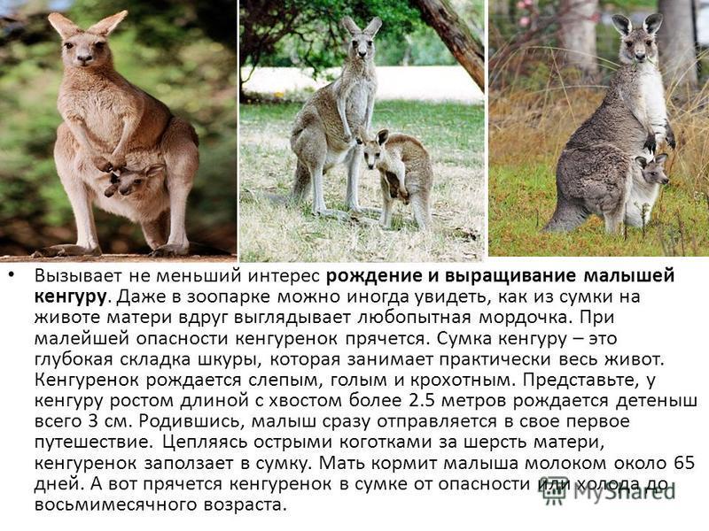 Вызывает не меньший интерес рождение и выращивание малышей кенгуру. Даже в зоопарке можно иногда увидеть, как из сумки на животе матери вдруг выглядывает любопытная мордочка. При малейшей опасности кенгуренок прячется. Сумка кенгуру – это глубокая ск