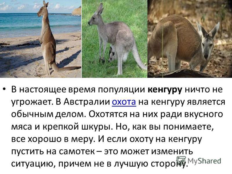 В настоящее время популяции кенгуру ничто не угрожает. В Австралии охота на кенгуру является обычным делом. Охотятся на них ради вкусного мяса и крепкой шкуры. Но, как вы понимаете, все хорошо в меру. И если охоту на кенгуру пустить на самотек – это