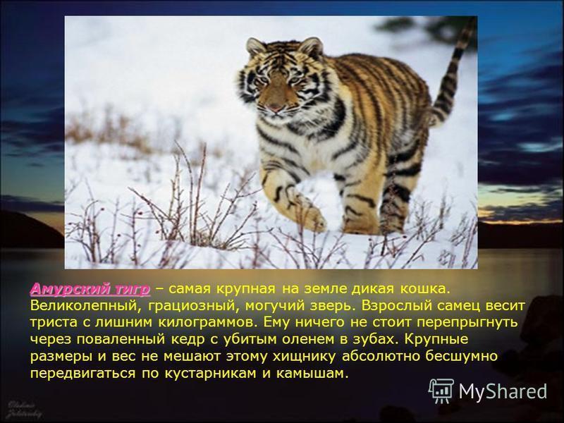 Амурский тигр Амурский тигр – самая крупная на земле дикая кошка. Великолепный, грациозный, могучий зверь. Взрослый самец весит триста с лишним килограммов. Ему ничего не стоит перепрыгнуть через поваленный кедр с убитым оленем в зубах. Крупные разме