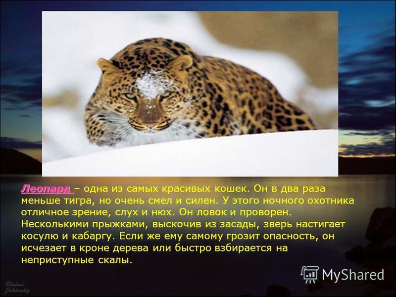 Леопард Леопард – одна из самых красивых кошек. Он в два раза меньше тигра, но очень смел и силен. У этого ночного охотника отличное зрение, слух и нюх. Он ловок и проворен. Несколькими прыжками, выскочив из засады, зверь настигает косулю и кабаргу.