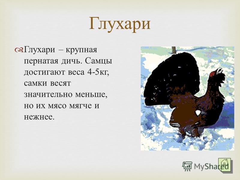 Глухари Глухари – крупная пернатая дичь. Самцы достигают веса 4-5 кг, самки весят значительно меньше, но их мясо мягче и нежнее.