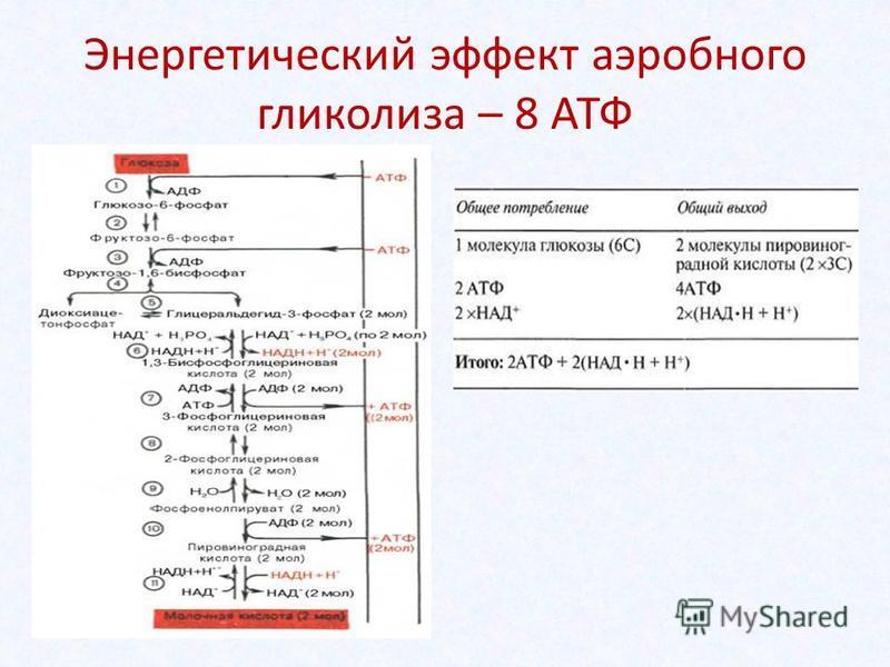 Энергетический эффект аэробного гликолиза – 8 АТФ
