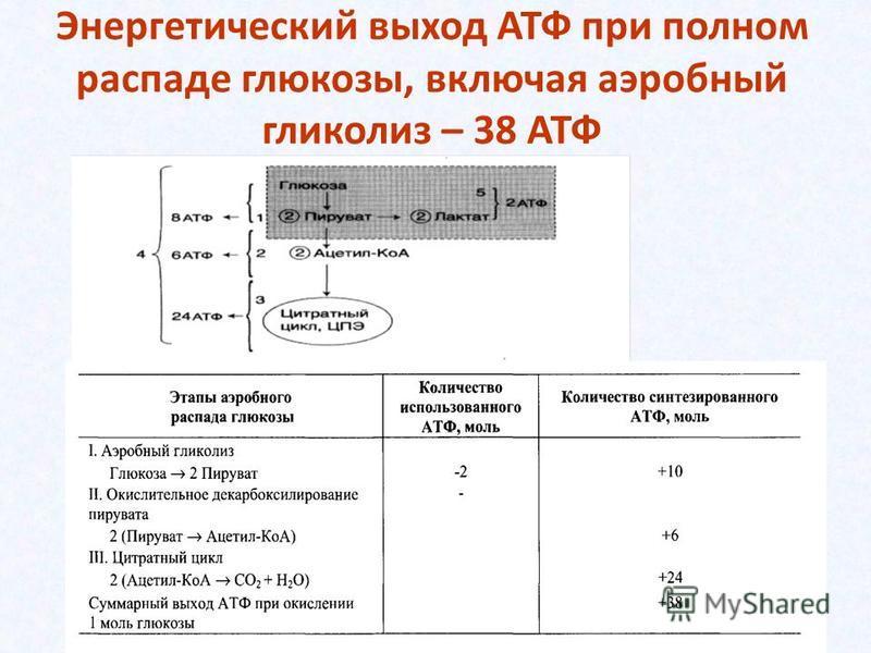 Энергетический выход АТФ при полном распаде глюкозы, включая аэробный гликолиз – 38 АТФ