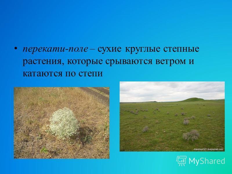 перекати-поле – сухие круглые степные растения, которые срываются ветром и катаются по степи