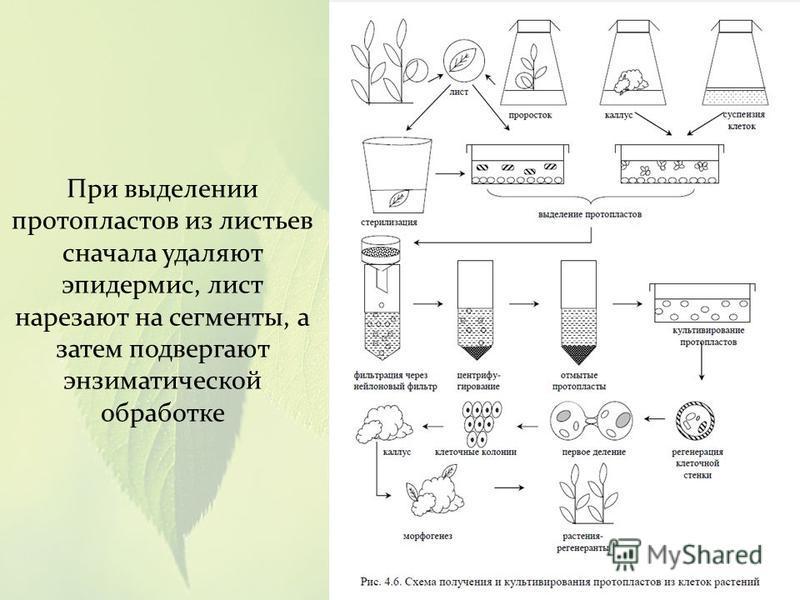 При выделении протопластов из листьев сначала удаляют эпидермис, лист нарезают на сегменты, а затем подвергают энзиматической обработке