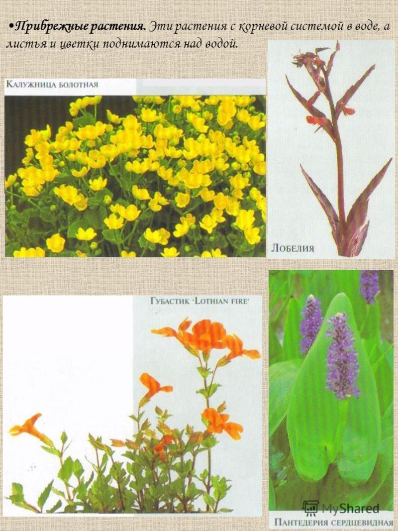 Прибрежные растения. Эти растения с корневой системой в воде, а листья и цветки поднимаются над водой.