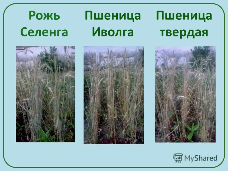 Рожь Селенга Пшеница твердая Пшеница Иволга