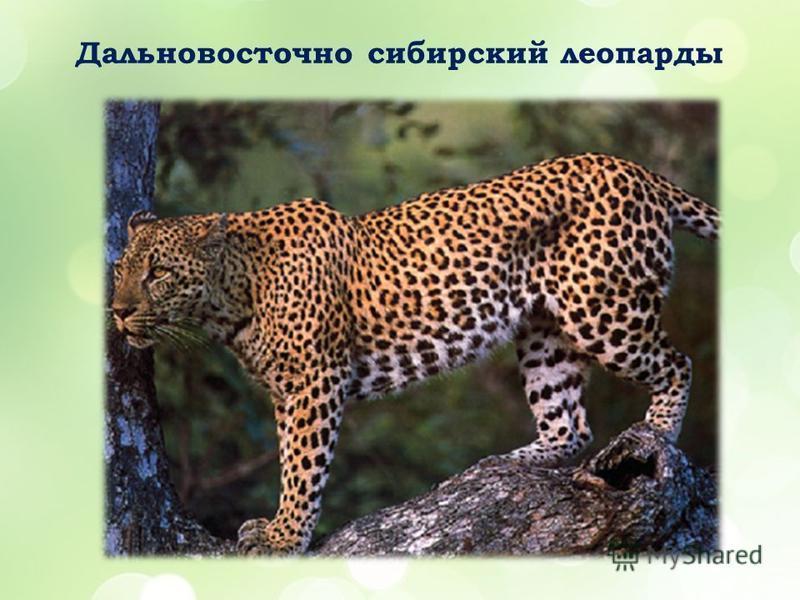 Дальновосточно сибирский леопарды