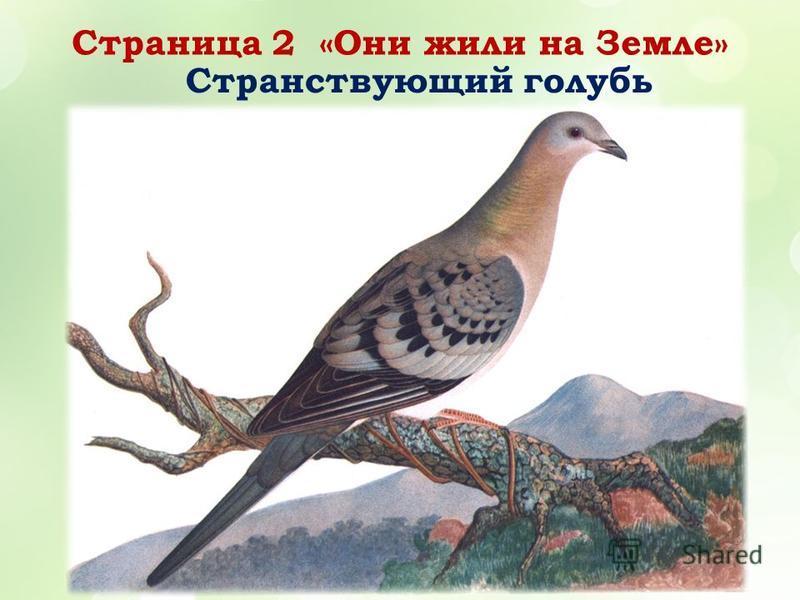 Страница 2 «Они жили на Земле» Странствующий голубь