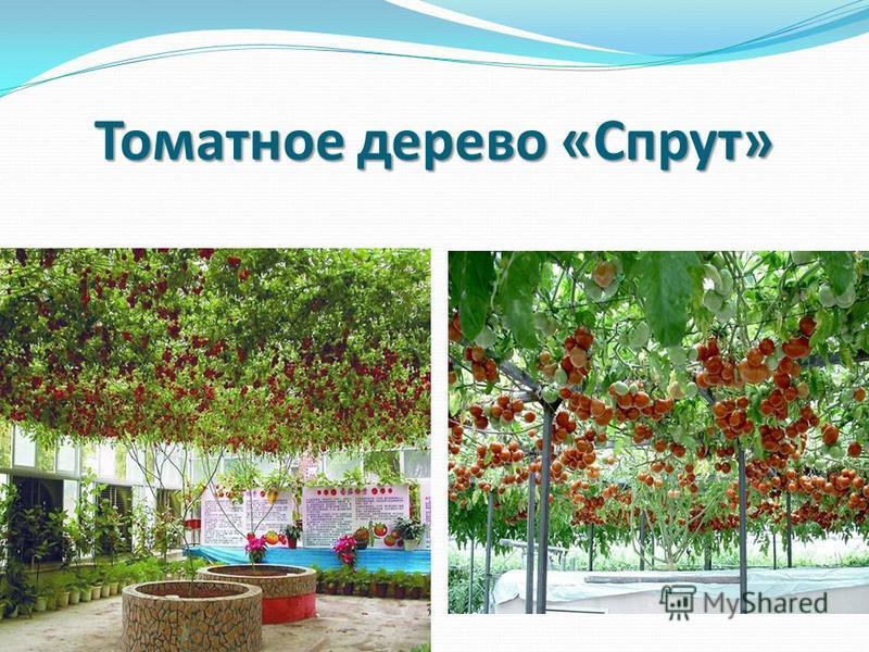 Томатное дерево «Спрут»