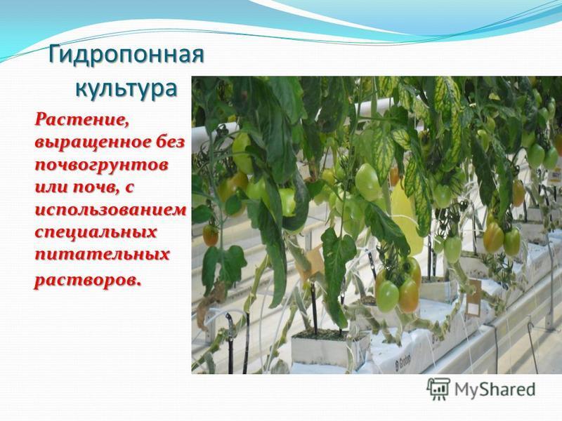 Гидропонная культура Растение, выращенное без почвогрунтов или почв, с использованием специальных питательных растворов.