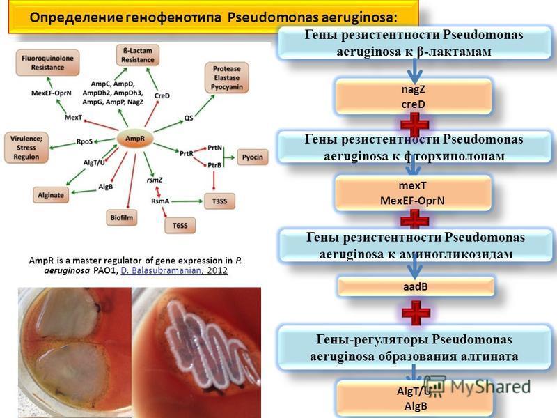Определение генофенотипа Pseudomonas aeruginosa: nagZ creD nagZ creD Гены резистентности Pseudomonas aeruginosa к β-лактамам Гены резистентности Pseudomonas aeruginosa к фторхинолонам mexT MexEF-OprN mexT MexEF-OprN Гены-регуляторы Pseudomonas aerugi