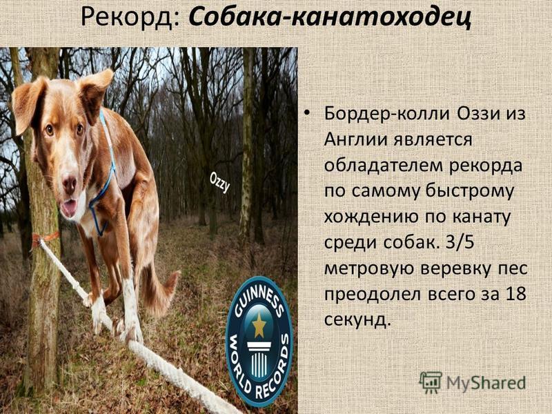 Рекорд: Собака-канатоходец Бордер-колли Оззи из Англии является обладателем рекорда по самому быстрому хождению по канату среди собак. 3/5 метровую веревку пес преодолел всего за 18 секунд.