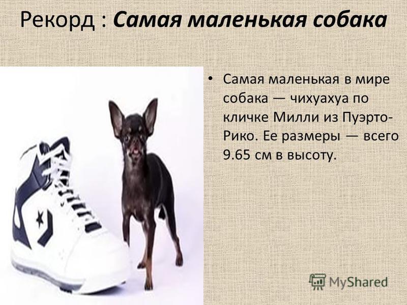 Рекорд : Самая маленькая собака Самая маленькая в мире собака чихуахуа по кличке Милли из Пуэрто- Рико. Ее размеры всего 9.65 см в высоту.